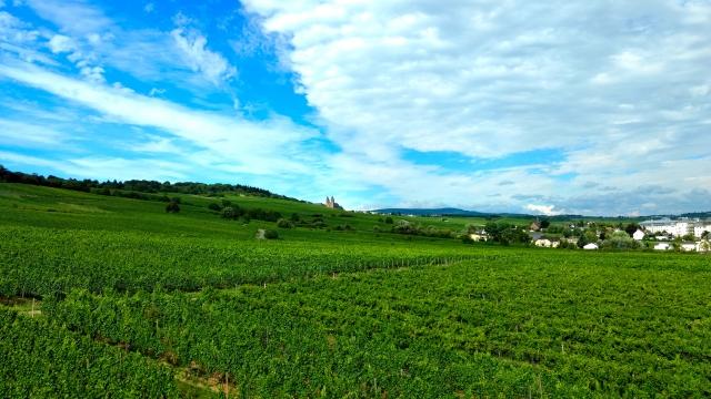 青空の下のぶどう畑